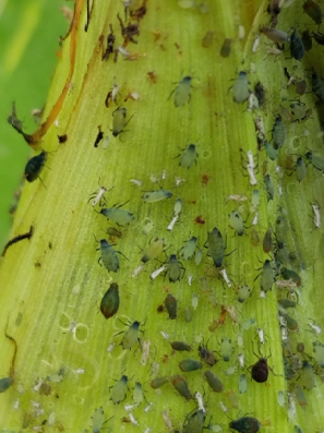 corn aphids and bird cherry-oat aphids, nymphs and adults