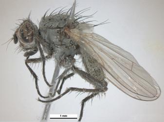 adult seed corn maggot
