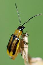 adult female western corn rootworm