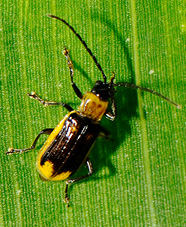 adult male western corn rootworm