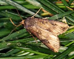black cutworm moth
