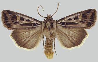 a dingy cutworm moth