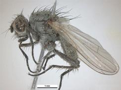 an adult seed corn maggot