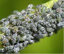 black bean aphids on a bean stem