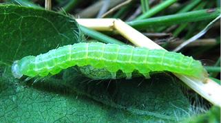 green cloverwood larva