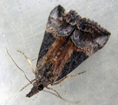 green cloverworm adult