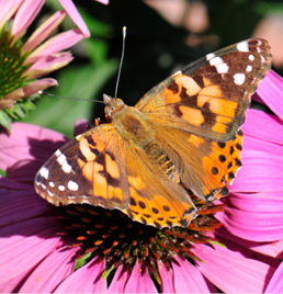 a painted lady butterfly on a pink flower