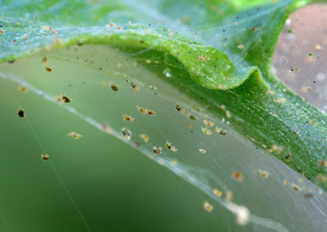 webbing from two-spotted spider mites