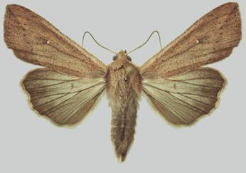 adult armyworm
