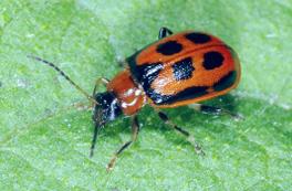 adult red bean leaf beetle