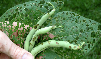 bean leaf beetle defoliation and pod damage