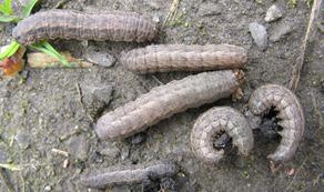dingy cutworm larva