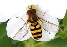 syrphid fly adult