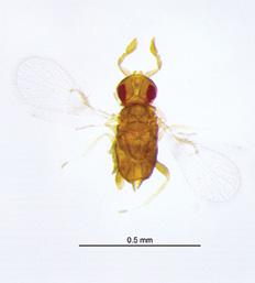 Trichogramma wasp adult