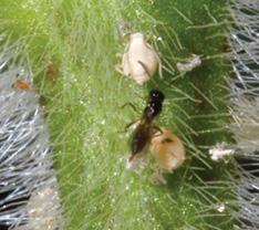 brachonid wasp adult