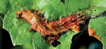 Thistle caterpillar infected with a baculovirus