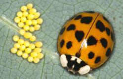 adult Asian ladybird beetle with yellow eggs