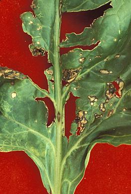 Bacterial Leaf Spot 1
