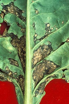 Bacterial Leaf Spot 2