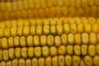 Corn picture 1