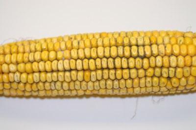 Corn picture 2