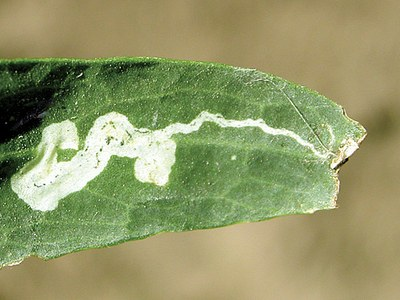 Leaf mines caused by early instar larva