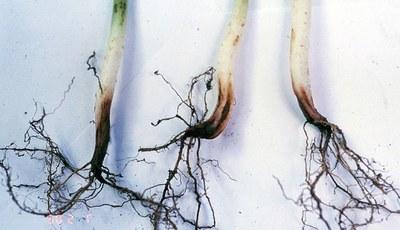 Fursarium root rot