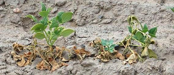 Fusarium yellows (wilt)