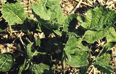 Figure 4 Canola early season