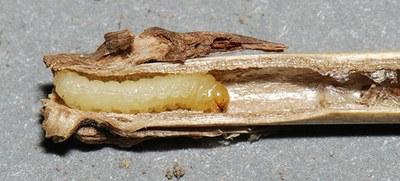 Figure 12 Ehrsy dyrm dsegly larva