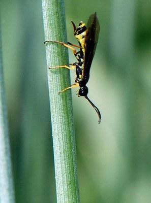 Figure 11 Wheat stem sawfly