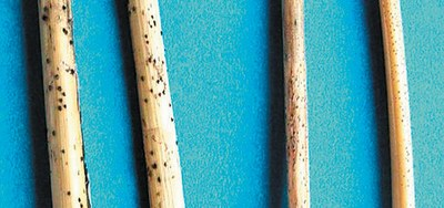 Difference between tan spot and Septoria/Stagonospora