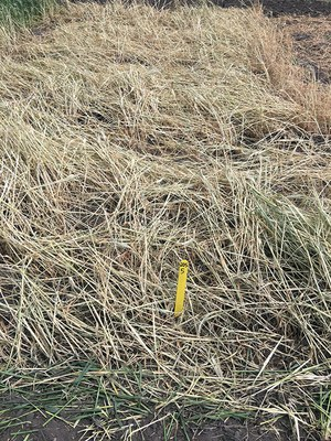better weed suppression after rye was terminated two weeks after soybean planting