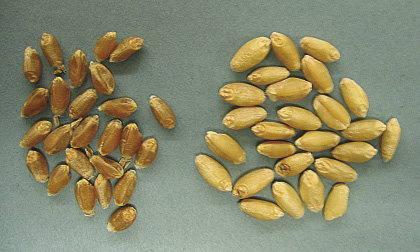 Figure 1 Kernels of Alsen hard red spring wheat