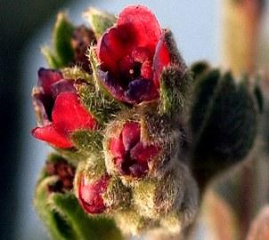 Houndstongue flower