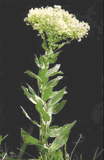 hoary cress flower small pae 26