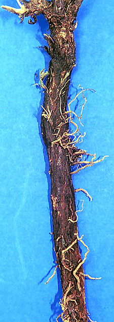 Russian knapweed root small page 30