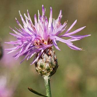 spotted knapweed flower small page 32
