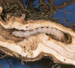 leafy spurge longhorned beetle larvae page 38