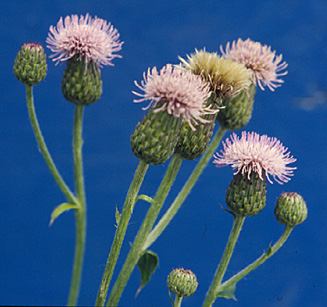 canada thistle small page 62