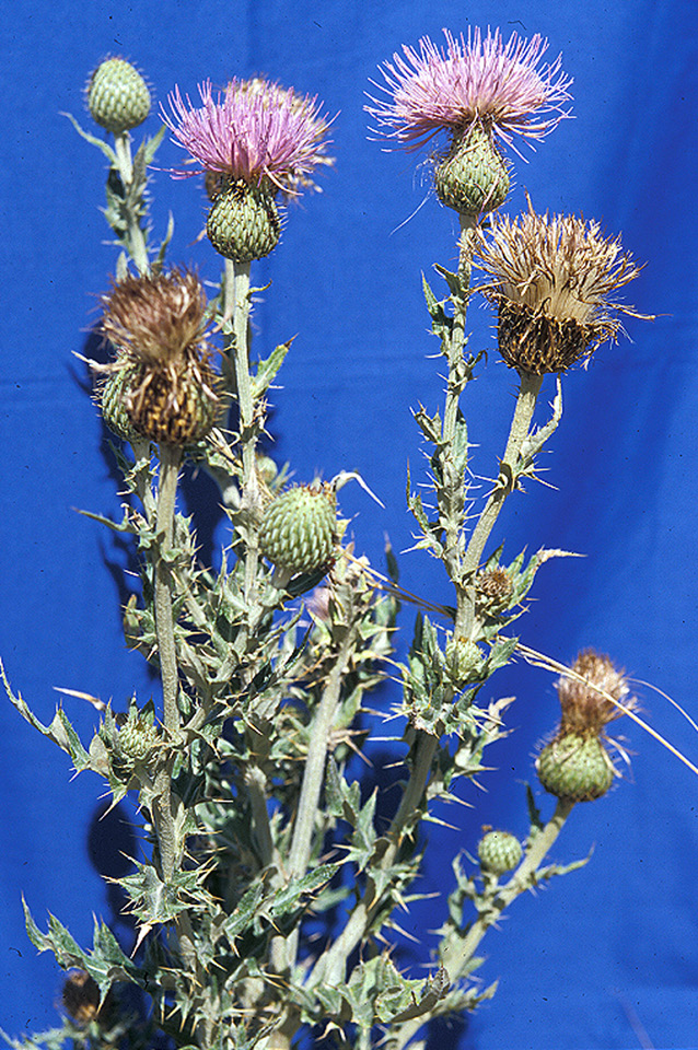 wavyleaf thistle large page 74
