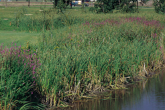 Purple loosestrife invades wetlands