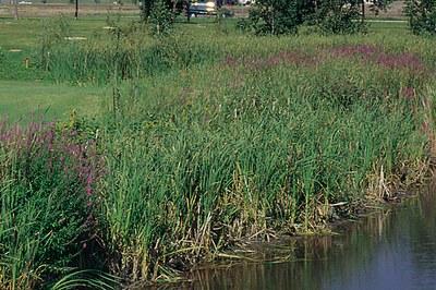 Purple loosestrife invades wetlands