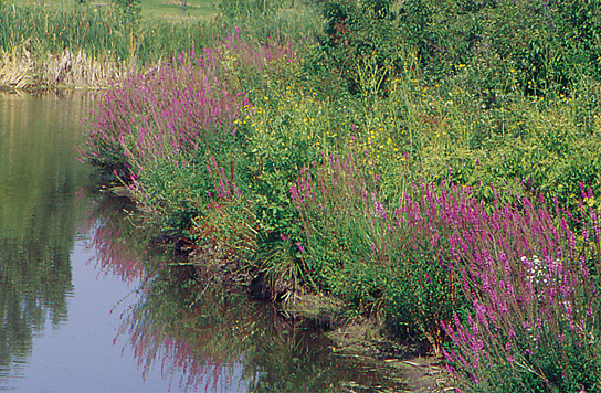 Lythrum reverts to the weedy puple loosestrife 1