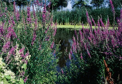 Lythrum reverts to the weedy loosestrife 2