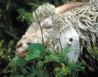 Figure 5 Angora goat