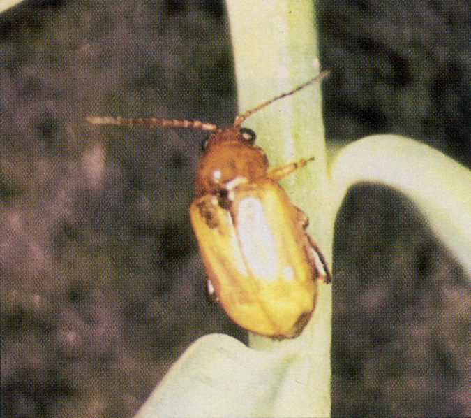 Figure 3 Flea beetle adults