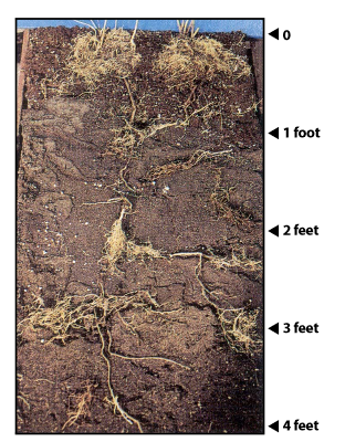 Roots of leafy spurge