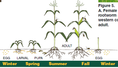 Chart Growing Corn
