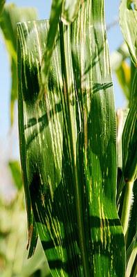 Leaf feeding scars by corn rootworm adults